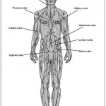 Lymph Nodes location