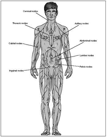Lymph Nodes : Location, Pictures, Types, Significance