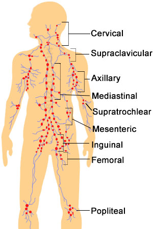 lymph nodes : location, pictures, types, significance, Cephalic Vein