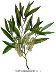 Tea Tree Oil Plant