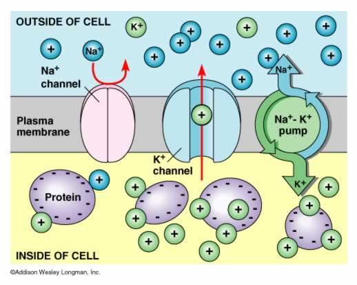 How Sodium Works To Balance Fluids