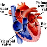 Types of heart valve