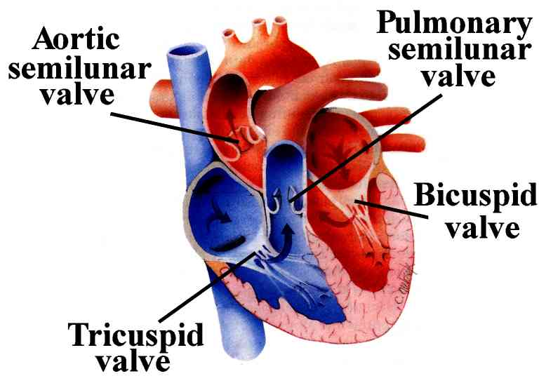 Heart valve replacement surgery need types procedure benefits types of heart valve ccuart