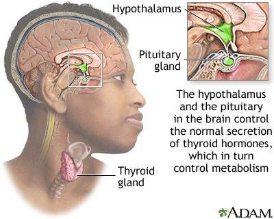 About the Pituitary Gland