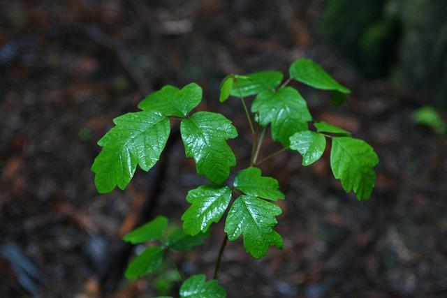 Treatment of Poison Oak