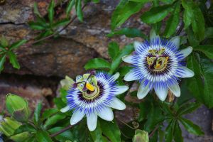 passionflower 1704206 960 720
