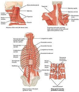 1117 Muscles of the Neck and Back