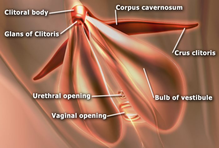 Female Vaginal Anatomy