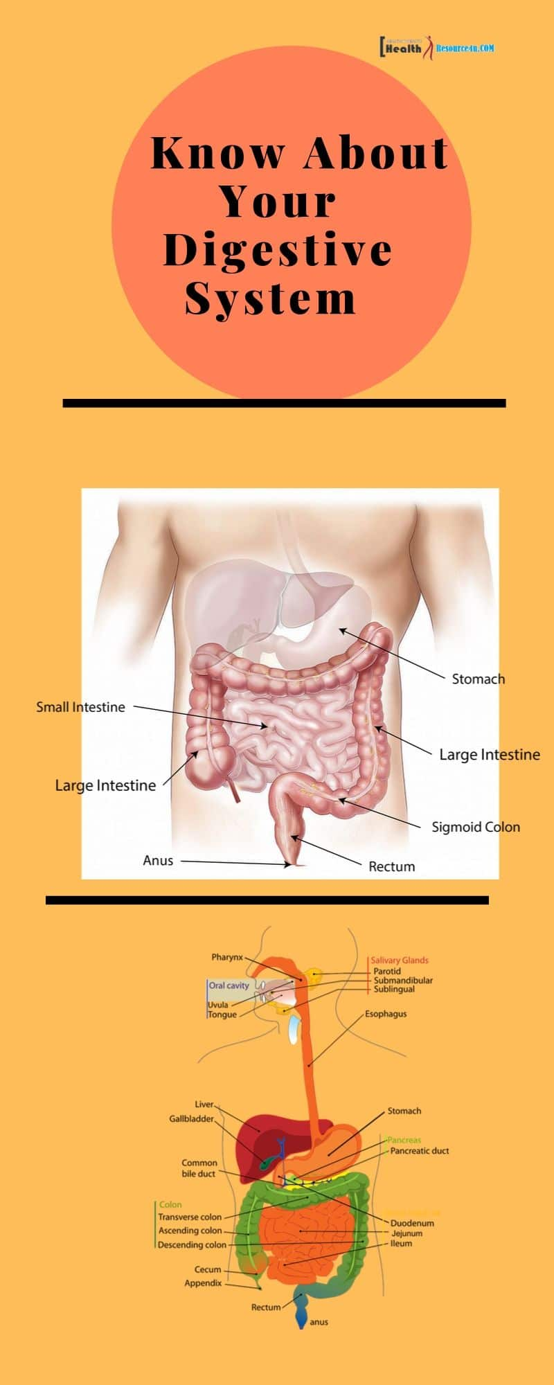 Know About Your Digestive System Infographic